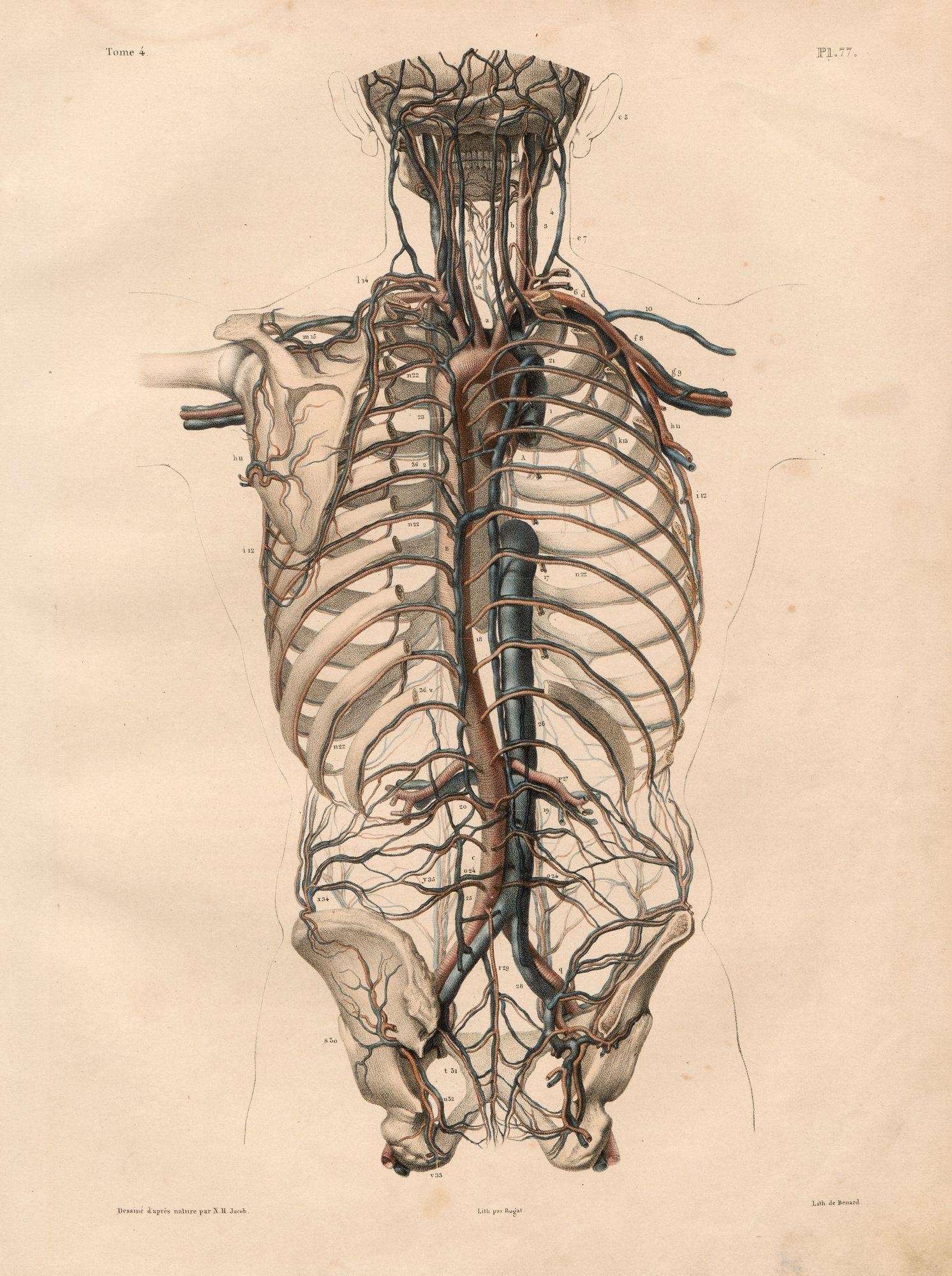 HeidICON: Anordnung von Arterien und Venen im Rumpf