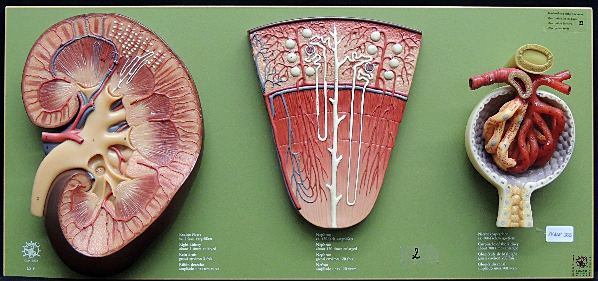 HeidICON: Niere, Nephron und Nierenkörperchen