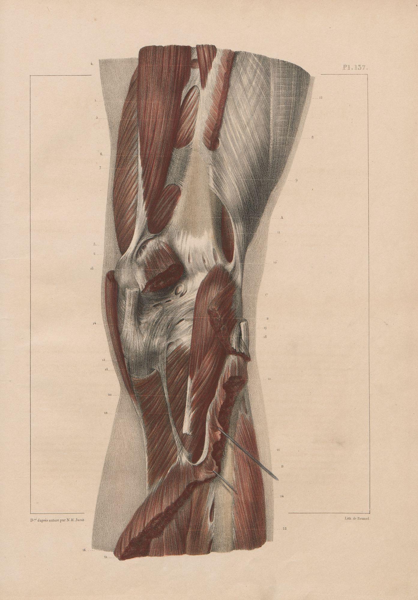 HeidICON: Muskelverbindungen an der Kniekehle (unterste Schicht)