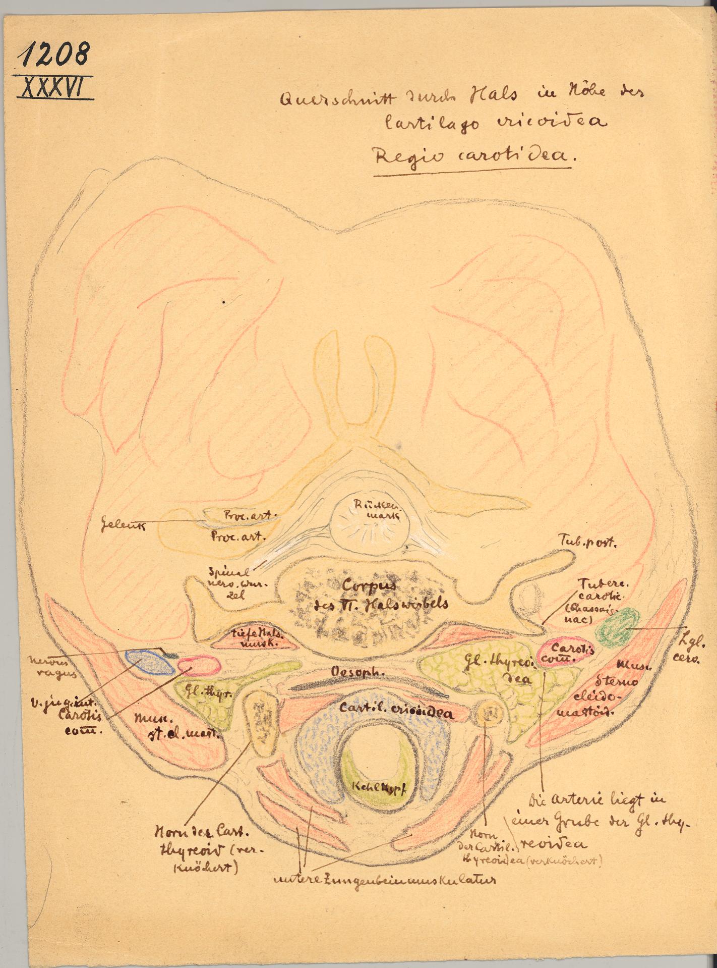 HeidICON: Hals - Kopf, Querschnitt